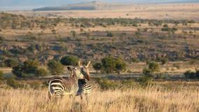 Cape Mountain Zebras stock video footage