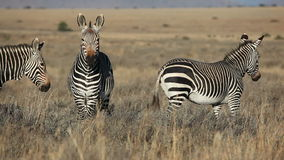 Cape Mountain Zebras Stock Image