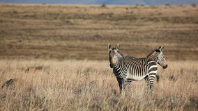 Cape Mountain Zebras stock video