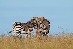 Cape mountain zebras in grassland Stock Photo