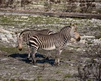 Cape Mountain Zebras. A pair of Cape Mountain Zebra standing in a burn area in Southern Africa stock images