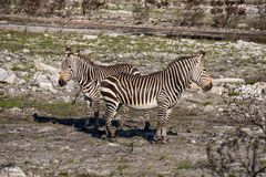 Cape Mountain Zebras. A pair of Cape Mountain Zebra standing in a burn area in Southern Africa stock photo