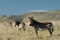 Cape Mountain Zebras. In a Southern African park Stock Images