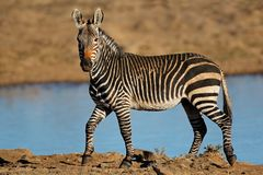 Cape mountain zebras at a waterhole royalty free stock images