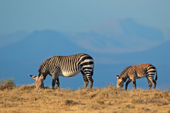Cape mountain zebras Royalty Free Stock Photos