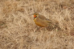Cape (Orange Throated) Longclaw. We saw the bird in a Reserve near Pretoria Stock Image