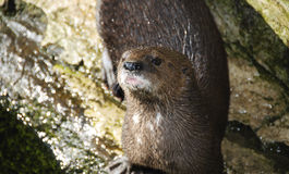 Cape Otter Stock Photo