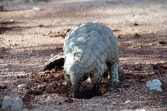 Cape Pangolin digging and eating ants Royalty Free Stock Images