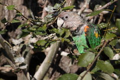 Cape Parrot Royalty Free Stock Images