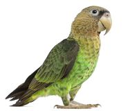 Cape Parrot, Poicephalus robustus, 1 year old. In front of white background royalty free stock images
