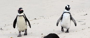 Cape penguin duo. Park on Boulder beach on Atlantic ocean, South Africa. Funny duo Royalty Free Stock Photography