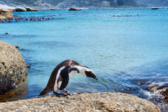 Cape penguin looks into water Stock Images