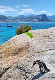 Cape penguin sits on a rock Stock Photography