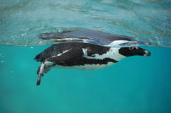 Cape penguin swimming in blue water. Close up of a black and white cape penguin swimming underwater Stock Photos