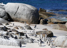 Cape Penguins. A large group of Cape Penguins on a white sand beach Royalty Free Stock Photos