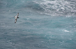 Cape Petrel royalty free stock images