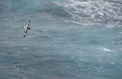 Cape  Petrel. [Pintado, Daption capense],Drake Passage,Southern Ocean, Antarctica Royalty Free Stock Images