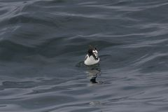 Cape petrel sitting on the ocean stock photography