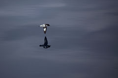 Cape petrel, Drake Passage, Antarctic Royalty Free Stock Photo