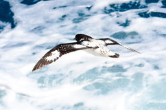 Cape petrel  or pintado Royalty Free Stock Images