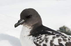 Cape Petrel portrait. Cape Petrel portrait sitting on a ski slope Royalty Free Stock Images