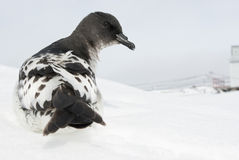Cape Petrel sitting on a ski slope. Royalty Free Stock Images