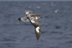 Cape pigeon flying over the Atlantic Ocean on a sunny Stock Image