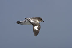 Cape pigeon flying over the southern ocean on oudy day Royalty Free Stock Photos
