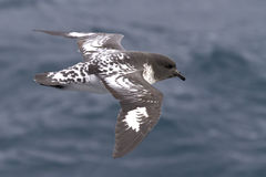 Cape pigeon flying over the southern ocean on a sunny day Royalty Free Stock Photos