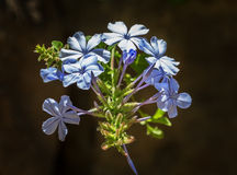 Cape plumbago Stock Image