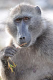 Cape point baboon Stock Image