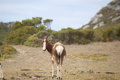 Cape Point Wildlife Royalty Free Stock Photography