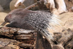 Cape porcupine Royalty Free Stock Photo