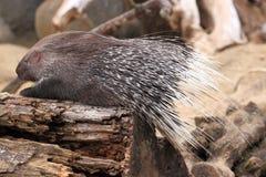 Cape porcupine Royalty Free Stock Photo