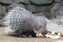 Cape Porcupine Royalty Free Stock Image