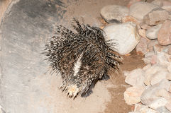 Cape porcupine back side Royalty Free Stock Photography