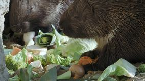 Cape porcupine eats vegetables Hystrix africaeaustralis stock video footage