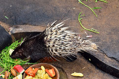 Cape porcupine Royalty Free Stock Photos