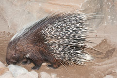 Cape porcupine. The Cape porcupine or South African porcupine, Hystrix africaeaustralis, is native to central and southern Africa royalty free stock images