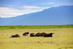 Cape race buffalo Royalty Free Stock Photo