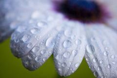 Cape rain daisy flower with water drops Royalty Free Stock Image