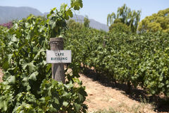 Cape Riesling vineyard Stock Photography