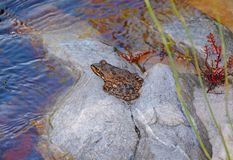 Cape River Frog Royalty Free Stock Photos