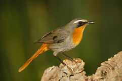 Cape robin Royalty Free Stock Photos
