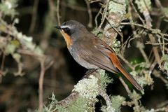 Cape Robin Royalty Free Stock Images