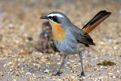 Cape Robin Bird Stock Photos