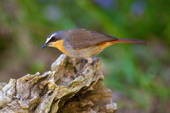 Cape Robin-Chat Royalty Free Stock Photos