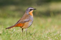 Cape robin chat Royalty Free Stock Photo