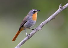 Free Cape Robin Chat Stock Photo - 16624740
