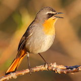 Cape robin chat. Photographed near Cape Town South Africa Royalty Free Stock Photography